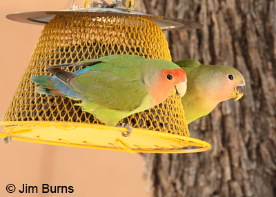 Rosy-faced Lovebirds at our seed feeder