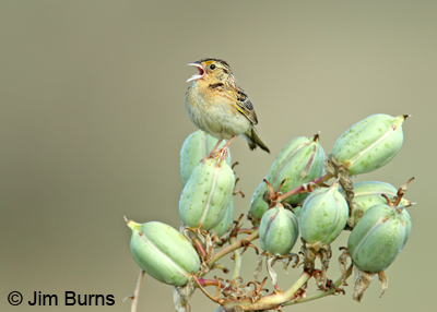 Grasshopper Sparrow singing on Yucca pods