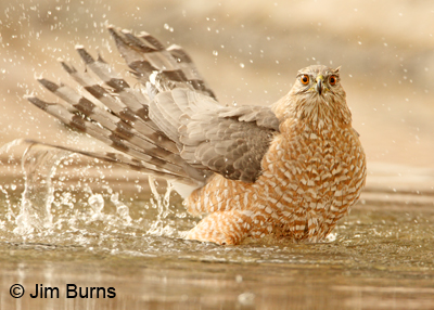 Cooper's Hawk adult female bathing