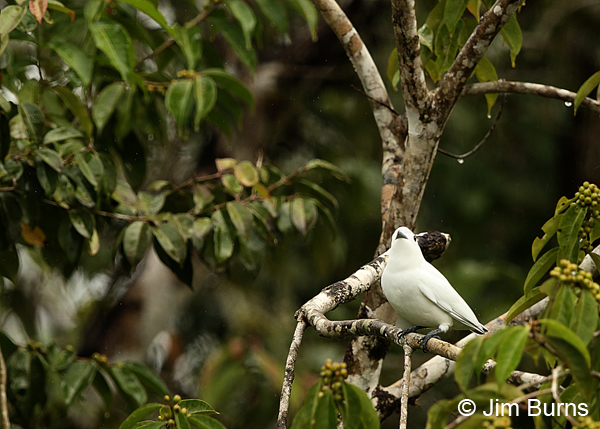 Snowy Cotinga male in fig tree