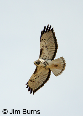 Harlan's light morph Red-tailed Hawk