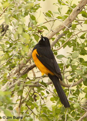 Black-vented Oriole-2/12/11, my final North American chase