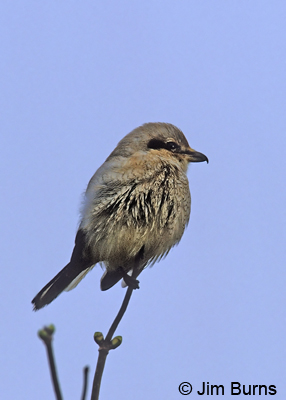 Juvenile Northern Shrike, a true Arizona snowbird