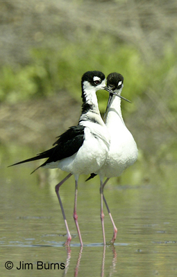 Dancing Black-necked Stilts