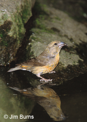 Red Crossbill drinking