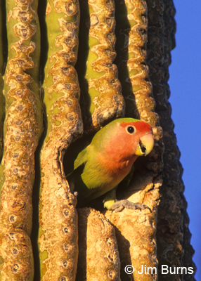 Rosy-faced Lovebird in Saguaro hole