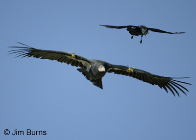 CA Condor & Common Raven escort