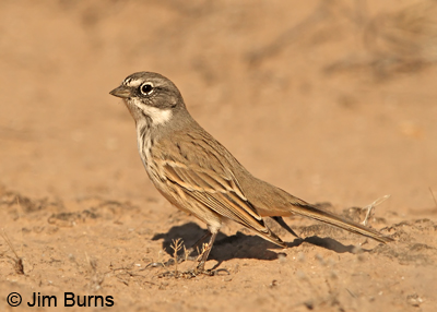 Sagebrush Sparrow, A. b. canescens, intermediate between Bell's and Sagebrush
