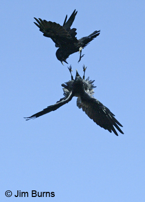 Common Ravens at play