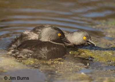 Least Grebe pair