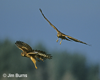 Northern Harriers in flight