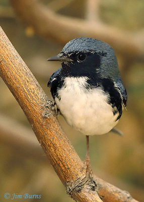 Black-throated Blue Warbler hatch year male