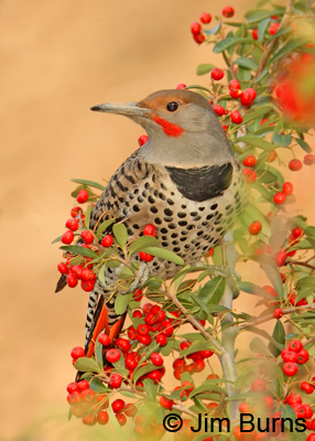 Red-shafted Flicker in Pyracantha