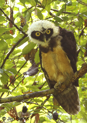 Spectacled Owl brancher