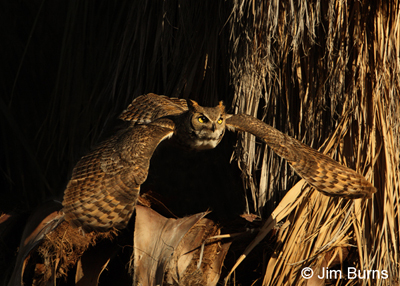Great Horned Owl night flight