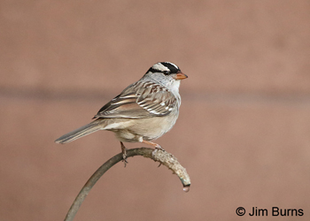 White-crowned Sparrow (oriantha) in winter