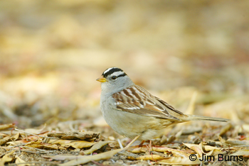 White-crowned Sparrow (gambelii) in winter