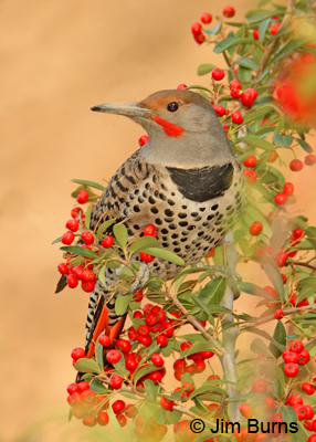 Red-shafter Flicker another avian tool user