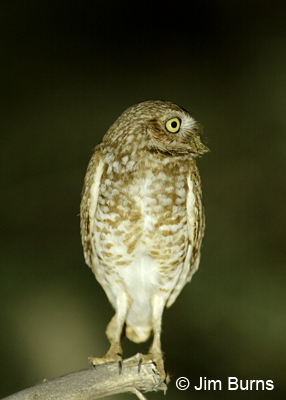 Burrowing Owl with dung on its beak