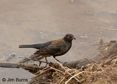 Rusty Blackbird male, Arizona, February
