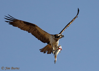 Osprey with trout, January 26, 2020, 10:30 am