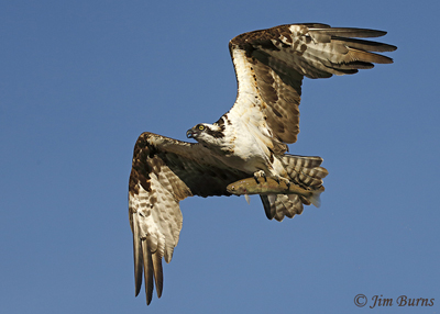 Osprey with trout, January 26, 2020, 9:30 am