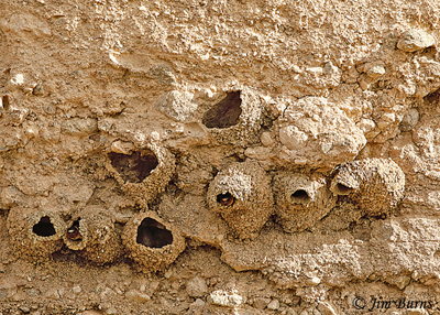 Cliff Swallow colony, classic retort shape nest at far right--9554