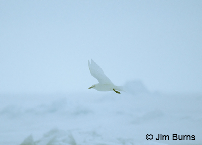 Ivory Gull over pack ice