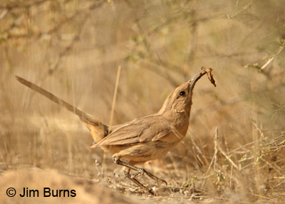 Le Conte's Thrasher male jumping to nest with insect larvae