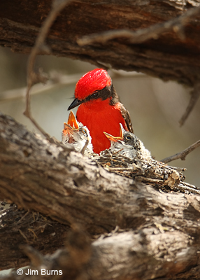 Vermilion Flycatcher male feeding nestlings