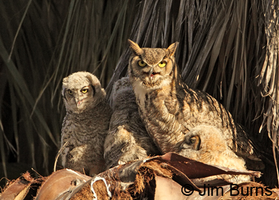Great Horned Owl female with deformed bill