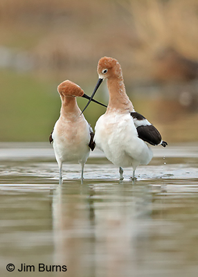 American Avocet pair, crossed bills