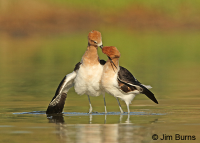 American Avocets in postcopulatory dance
