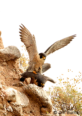 Peregrine Falcons copulating