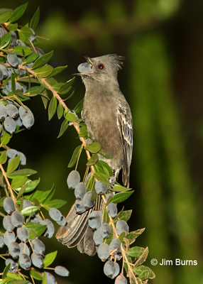 Phainopepla female with Myrtle berry