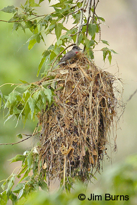 Rose-throated Becard at nest