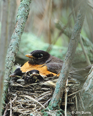 American Robin female with young