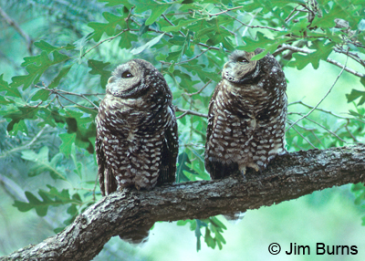 Spotted Owl pair
