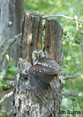Northern Hawk Owl female mantling nest cavity with young