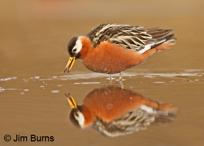 Red Phalarope female alternate plumage with mosquito larva