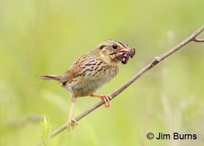 Henslow's Sparrow with spider