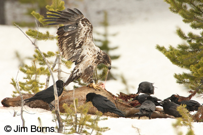 Immature Bald Eagle at elk carcass