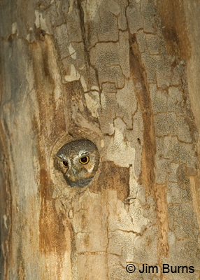 Elf Owl in sycamore