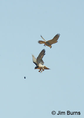 Peregrines at play with captured White-throated Swift
