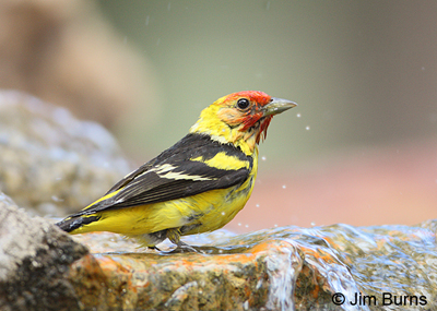 Western Tanager male bathing at our fountain