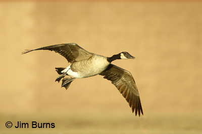 Canada Goose in flight in early morning light