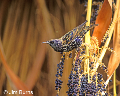 European Starling in date palm