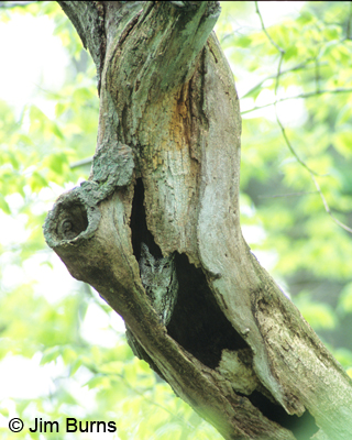Eastern Screech-Owl at Point Pelee