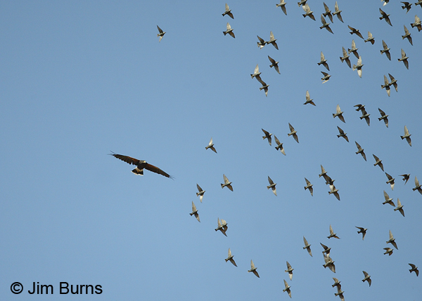 A small murmuration of starlings.
