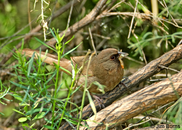Abert's Towhee with caterpillar for nestlings